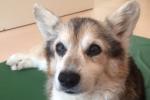 18才コーギーがホテルでお泊り-頑張っている犬たちをご紹介-