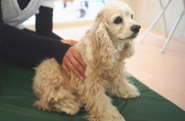 犬の整体施術