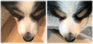 犬の鼻の毛の生え方