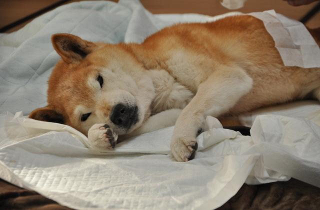 シニア犬・老犬の床ずれ