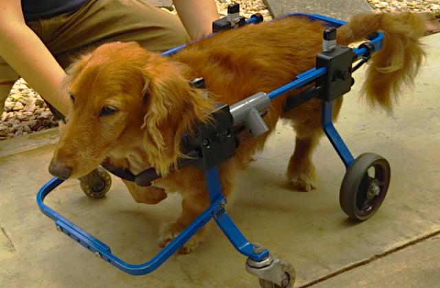シニア犬・老犬のリハビリ・トレーニング
