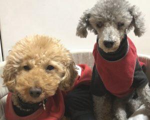 導尿病の同居犬とともにトイプードルが来院