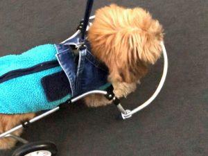 犬の車いすで思い通りに動く