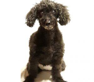 骨肉腫になってしまった犬のトイプードル